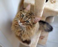 Gato mullido de Mainecoon Imagen de archivo libre de regalías