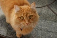Gato mullido del jengibre foto de archivo