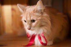 Gato mullido del jengibre con una cinta roja Imágenes de archivo libres de regalías