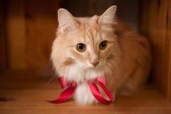 Gato mullido del jengibre con una cinta roja Imagen de archivo