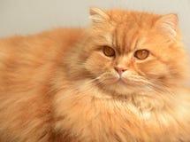Gato mullido del jengibre Retrato animal Foto de archivo libre de regalías