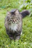 Gato mullido en la hierba Fotos de archivo libres de regalías