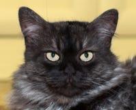 Gato mullido enfadado Fotografía de archivo