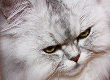 Gato mullido enojado Fotografía de archivo libre de regalías