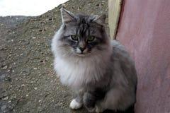 Gato mullido gris con los ojos verdes en la nieve del invierno de la calle imagen de archivo libre de regalías
