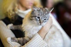 Gato mullido ligero asustado en manos del voluntario de la muchacha, en el refugio para los animales sin hogar El gatito tendrá u Fotos de archivo