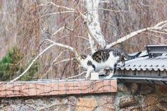 Gato mullido que camina en el tejado del gris del metal Imagen de archivo libre de regalías
