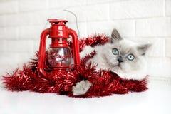 Gato mullido que presenta para la Navidad Fotos de archivo libres de regalías