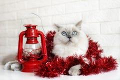 Gato mullido que presenta para la Navidad Fotografía de archivo