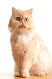 Gato mullido rojo. Foto de archivo