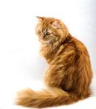 Gato mullido rojo con los ojos anaranjados Imagenes de archivo