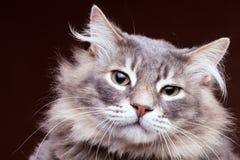 Gato muy enfadado en fondo marrón en estudio Imagen de archivo