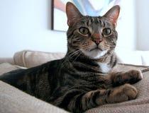 gato muy hermoso que se sienta en la mirada del sofá Fotos de archivo