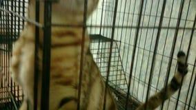 Gato muy raro de Bengala en Tailandia almacen de metraje de vídeo
