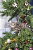 Gato na árvore do ano novo de árvore de Natal Gatinho bonito impertinente Fotografia de Stock