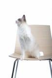Gato na cadeira foto de stock royalty free