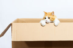 Gato na caixa Fotografia de Stock