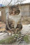 Gato na casa de campo com bichano-salgueiro e ramos spruce Fotos de Stock Royalty Free
