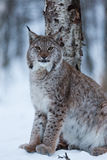 Gato na cena nevado do inverno, Noruega do lince Imagem de Stock Royalty Free