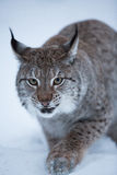 Gato na cena nevado do inverno, Noruega do lince Fotografia de Stock Royalty Free