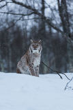 Gato na cena nevado do inverno, Noruega do lince Imagem de Stock