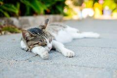 Gato na ilha de Santorini, Oia, Grécia Fotografia de Stock Royalty Free
