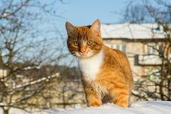 Gato na neve Imagens de Stock