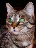Gato na obscuridade Imagens de Stock Royalty Free