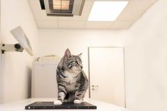 Gato na prática veterinária O veterinário é raio X o animal imagens de stock