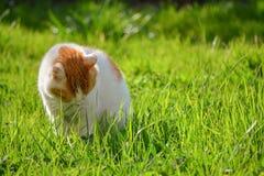Gato nacional adulto blanco y amarillo triste que se sienta en hierba en el jardín Imágenes de archivo libres de regalías