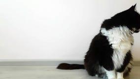 Gato nacional blanco y negro mullido lujoso que se sienta en el piso en un cuarto blanco como la nieve Lamedura y mirada alrededo almacen de video