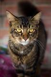Gato nacional de la raza local que mira la cámara. foto de archivo libre de regalías