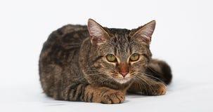 Gato nacional del gato atigrado de Brown que lame sus tajadas contra el fondo blanco metrajes