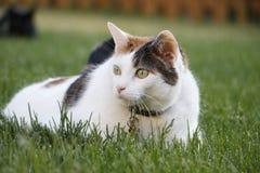 Gato nacional del pelo corto del animal doméstico femenino del calicó en hierba Fotografía de archivo