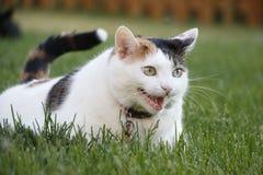 Gato nacional del pelo corto del animal doméstico femenino del calicó en la hierba Meowing foto de archivo libre de regalías