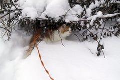 Gato nacional en paseo del invierno Foto de archivo libre de regalías