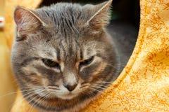 Gato nacional gris en la casa del gato Imagenes de archivo