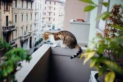 Gato nacional que miente en espera en el balcón que mira la calle Foto de archivo libre de regalías