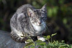Gato nacional salvaje enfermo del granero imagen de archivo