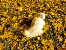 Gato nas folhas amarelas Imagens de Stock Royalty Free