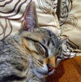 Gato nativo do sono doce fotos de stock royalty free