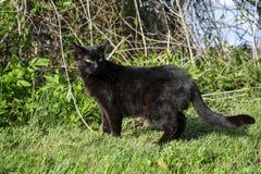 Gato negro Fotografía de archivo libre de regalías