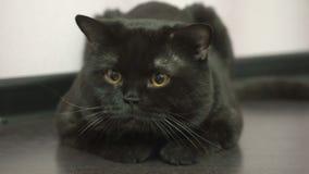 Gato negro británico que persigue un juguete metrajes