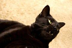 Gato negro con la boca abierta Fotos de archivo