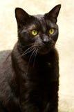 Gato negro con los ojos verdes Imagenes de archivo