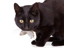 Gato negro con su presa, un ratón muerto Imagen de archivo libre de regalías