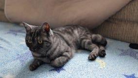Gato negro de británicos del humo almacen de video