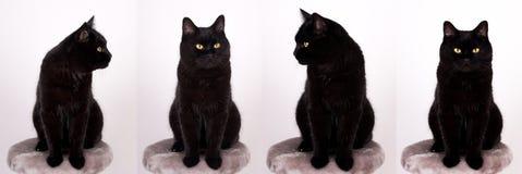 Gato negro de Cat Black con los ojos del amarillo aislados en blanco Imagenes de archivo