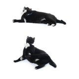 Gato negro de mentira aislado sobre el fondo blanco Fotografía de archivo libre de regalías