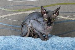 Gato negro de Sphynx del canadiense Imagenes de archivo